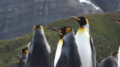 King Penguins, About to sing but neighbour pokes, Funny, Gold Harbour, Social Distancing Behaviour, South Georgia Island. fresh material from rediscovered rushes