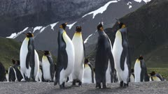 King Penguins, Important Huddle Negotiating Social Distancing Display Behaviour, Funny, Gold Harbour, South Georgia Island. fresh material from rediscovered rushes