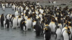 King Penguins, Moulting, Meltwater Stream, South Georgia Island