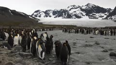 King Penguins, Moulting, Meltwater Stream, Glacier, South Georgia Island