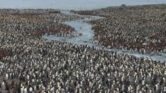 King Penguins, Huge Breeding Colony, South Georgia Island