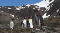 King Penguins, Couple + Bystander, Gender non-specific, Lost Okum Boy walks into frame, South Georgia Island