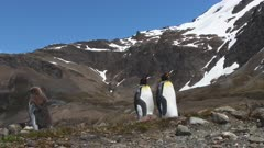 King Penguins, Couple, Gender non-specific, Lost Okum Boy departs, South Georgia Island