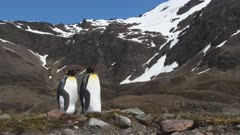 King Penguins, Couple, Gender non-specific, South Georgia Island