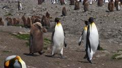 King Penguins, Okum Boy begging for food trails adult couple, South Georgia Island