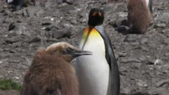 King Penguins, Okum Boy begs adults for food, South Georgia Island
