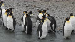 King Penguins, Social Distancing Behaviour, Funny, South Georgia Island