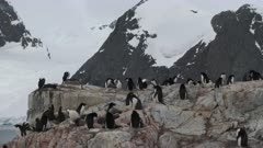 Adelie Penguins, Rearing Chicks, Yalour Island