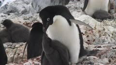 Adelie Penguins, Rearing Chicks, Exasperation, Audio, Yalour Island. Fresh material from rediscovered rushes