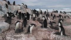 Adelie Penguins, Rearing Chicks, Hero Parent Departs, Chicks Flapping Wings, Yalour Island. fresh material from rediscovered rushes