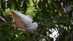 Cockatoo, Corella, Pair, Feeding on Wattle, Acacia, Handy Feet, Cacatua tenuirostris