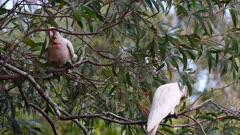 Cockatoo, Corella, Pair, Feeding on Wattle, Acacia, Handy Feet, Cacatua tenuirostris