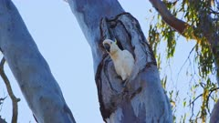 Cockatoo, Sulphur Crested, Tree Hollow, Portrait
