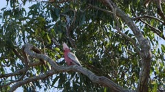 Cockatoo, Galah, Spring Serenade, Call & Response, Beautiful, Audio, Long takes - suits Virtual Decor / Slow TV