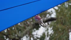 Cockatoo, Galah, Pair, Play on childrens playground canopy, Funny, Audio