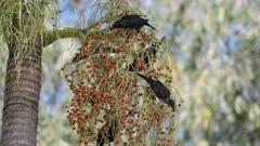 Metallic Starlings, Feeding on Palm Berries, Aplonis metallica