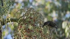 Metallic Starling, Juvenile for reference, Feeding on Palm Berries, Focus maybe marginal, Aplonis metallica