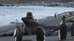 Elephant Seals, Jousting, King Penguins, Vista, Gold Harbour, South Georgia Island. fresh material from rediscovered rushes
