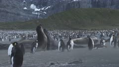 Elephant Seals, Jousting, King Penguins, Vista, Wind Gust / Dust, Atmospheric, Gold Harbour, South Georgia Island. fresh material from rediscovered rushes