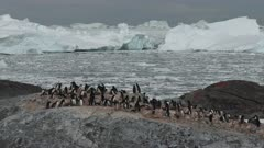 Adelie Penguins, Colony, Vista, Yalour Island. fresh material from rediscovered rushes