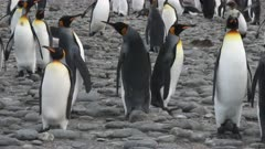 King Penguin, Group Behaviour, Fighting Theme, cutting element. needs QC appropriate to use