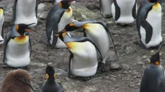 King Penguins, Egg 'Transfer' Interaction, Partner stands by & defends social distancing behavior, South Georgia Island. 2/4 . QC for intended purpose