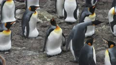 King Penguins, Egg 'Transfer' Interaction, Partner defends social distancing as 3rd party arrives,South Georgia Island. 3/4 . QC for intended purpose