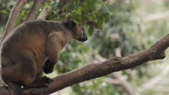 Tree Kangaroo, Lumholtz's, Portrait in Tree, Afternoon, QLD, Australia