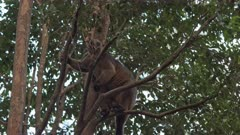 Tree Kangaroo, Lumholtz's, Climbs Tree, 1/6, Afternoon, QLD, Australia