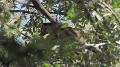 Tree Kangaroo, Lumholtz's, Portrait in Tree, 4/6, Afternoon, QLD, Australia