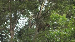 Tree Kangaroo, Lumholtz's, Climbs Tree, 5/6, Afternoon, QLD, Australia