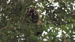 Tree Kangaroo, Lumholtz's, Preening in Tree, 6/6, Afternoon, QLD, Australia