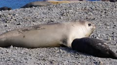 Elephant Seal, Pup, Stromness, South Georgia Island