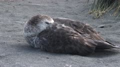 Giant Petrel asleep, South Georgia Island. fresh material from rediscovered rushes
