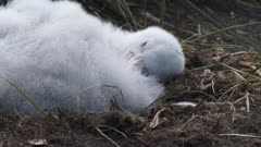 Giant Petrel, Chick, South Georgia Island. fresh material from rediscovered rushes