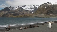 Giant Petrels, Feeding on Seal Carcass, 1/10, South Georgia Island. fresh material from rediscovered rushes