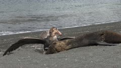 Giant Petrel, Feeding on Seal Carcass, 2/10, South Georgia Island. fresh material from rediscovered rushes