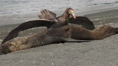 Giant Petrel, Feeding on Seal Carcass, 3/10, South Georgia Island. fresh material from rediscovered rushes