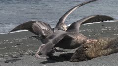 Giant Petrels, Feeding on Seal Carcass, 7/10, South Georgia Island. fresh material from rediscovered rushes