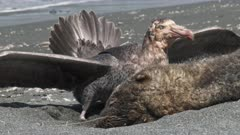 Giant Petrels, Feeding on Seal Carcass, 8/10, South Georgia Island. fresh material from rediscovered rushes