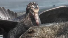 Giant Petrel, Feeding on Seal Carcass, 10/10, South Georgia Island. fresh material from rediscovered rushes