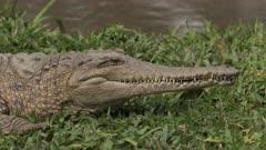 Crocodile, Freshie, smiles & clenches teeth (subtle)