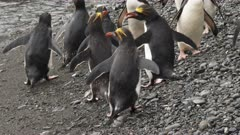 Macaroni Penguin, Beach, South Georgia Island. many more shots available on request