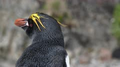 Macaroni Penguin, Portrait, CU, South Georgia Island