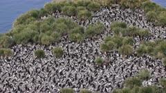Macaroni Penguin, Colony, South Georgia Island