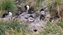 Macaroni Penguin, Nesting, South Georgia Island