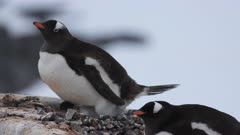 Gentoo Penguin, Poops, Port Lockroy. fresh material from rediscovered rushes