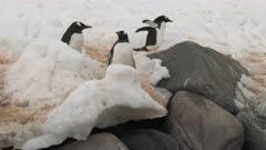 Gentoo Penguin Highway, Danco Island. QC for intended purpose