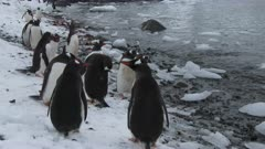 Gentoo Penguins, Bathing at Beach, Cuverville Island. fresh material from rediscovered rushes