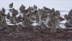 Bar-tailed Godwits (Limosa lapponica baueri), resting, Moreton Bay, Australia